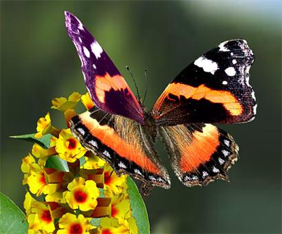 Les joueurs de poker en ligne sont ils des papillons?